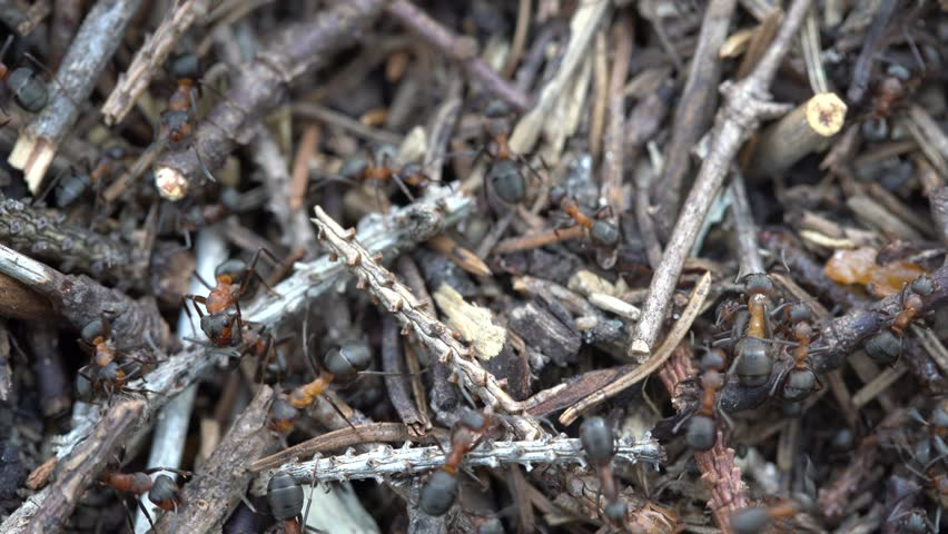 Big anthill in the woods. Big anthill with colony of ants in summer forest. Ants on the anthill in the woods closeup, macro