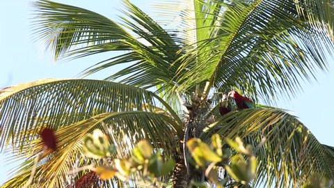 Red-and-green Macaws (Ara chloropterus) eating coconut fruit on palm tree in Trinidad and Tobago, typical bird behavior, beautiful birds in Caribean, beautiful parrot in natural enviroment