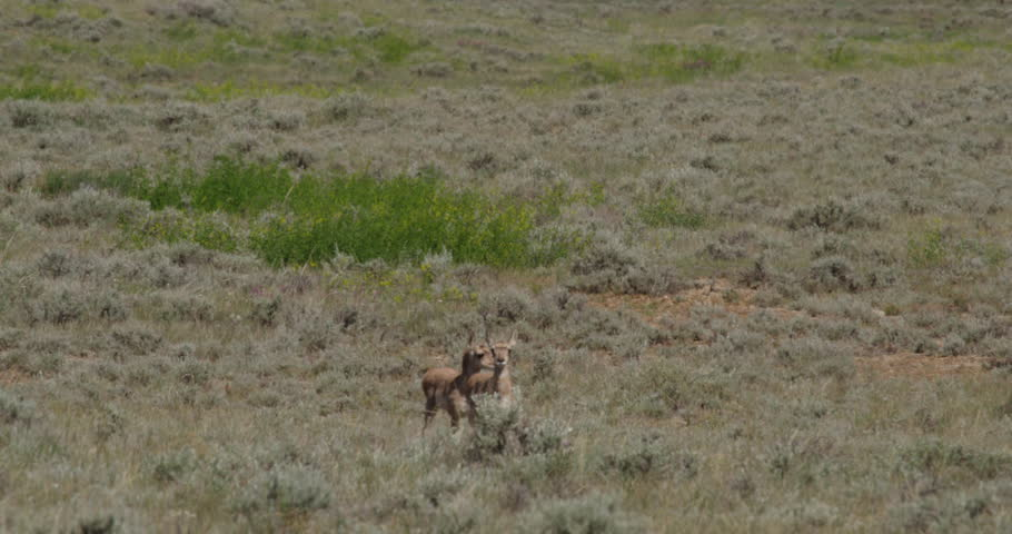 Two cute pronghorn twins wary of camera approach near sagebrush on hot day #1015608166