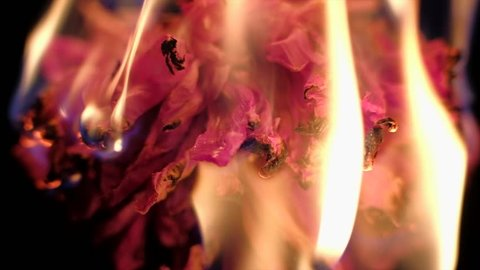 slowmotion - red dried flower burns on a black background