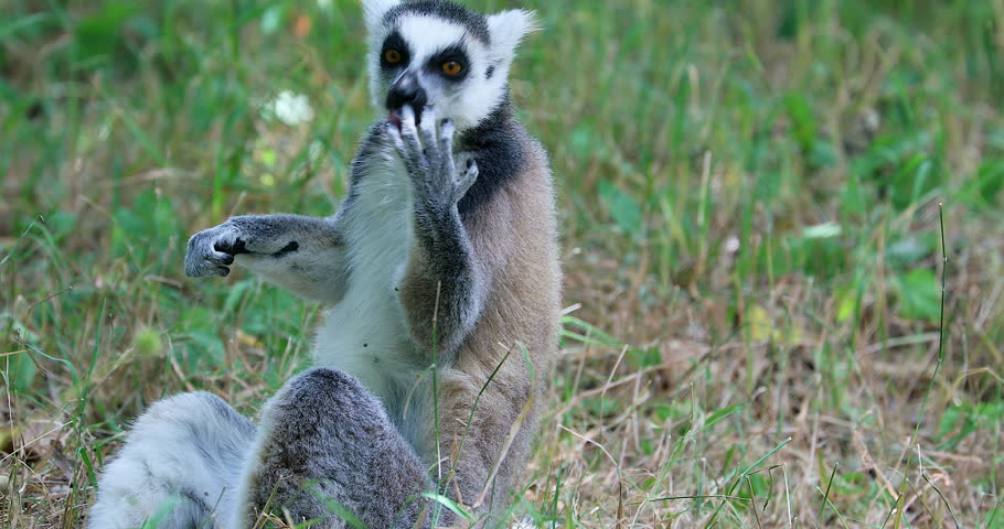 Ring Tailed Lemur (Lemur Catta) Cleaning His Fur And His Fingers By Licking Them, Close Up View - DCi 4K Resolution