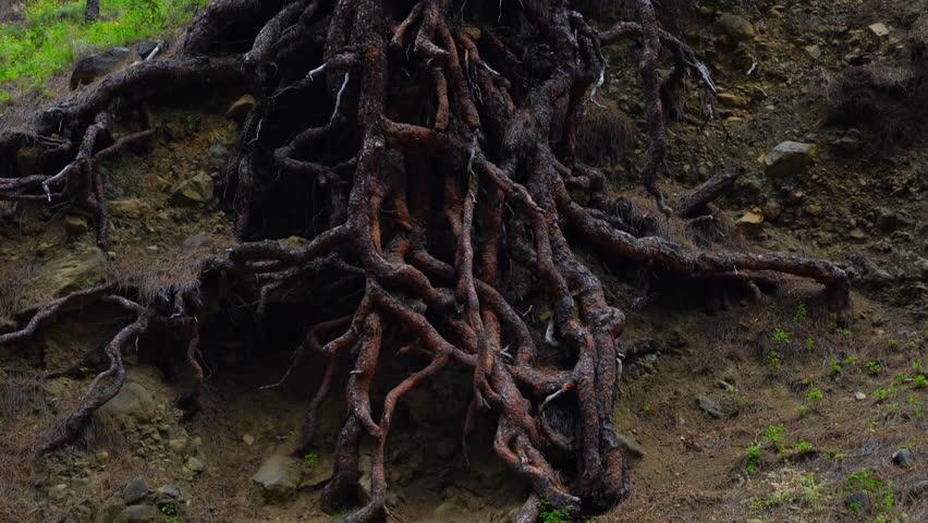 Roots, PINO CANARIO (Pinus canariensis), La Cumbrecita, Caldera de Taburiente National Park, La Palma, Canary Islands, Spain, Europe