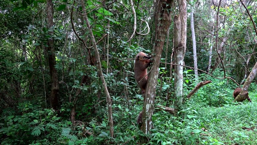 Group of ring-tailed coati (Nasua nasua) is climbing trees in the Iguazu national park. Argentina