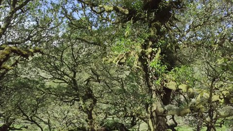 Aerial footage amongst the mossy green ancient trees of wistmans wood, Dartmoor, Devon, England.