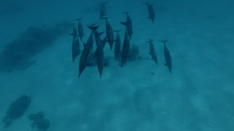A pod of Spinner Dolphins swims over the sandy bottom (High-angle shot, Underwater shot, 4K / 60fps)