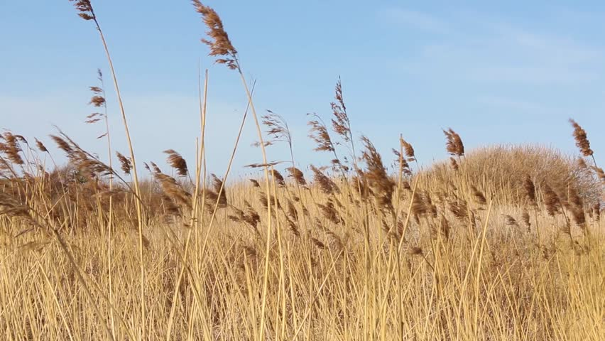 Dry, swinging Reed Grass in the wind with dunes in background at the sea with blue sky