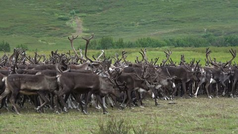 Herd of northerns reindeer on a summer day. Yamal, Russia