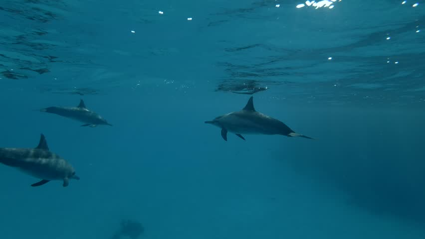Dolphins swim in the blue water (Spinner Dolphin, Stenella longirostris) Close-up, Underwater shot, 4K / 60fps
