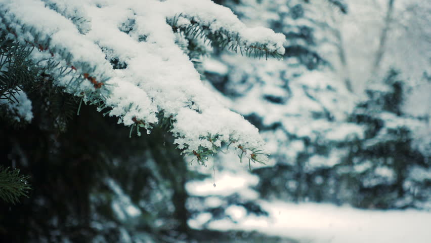Snow falling at the fir trees branches  | Shutterstock HD Video #1015940086