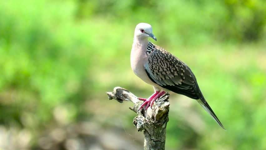 Spotted Dove reacts to sound of other birds #1015968226