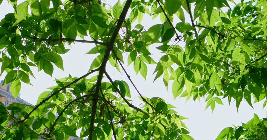 Bright green leaves of tree backlit by afternoon sun in front of sky