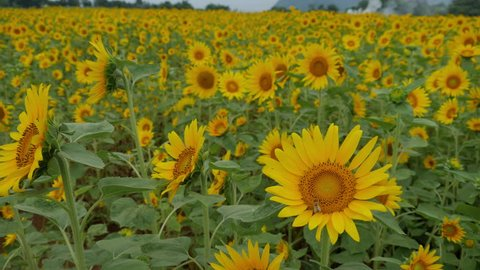 sunflower are blooming on a hill in Nagasaki, JAPAN. without sounds