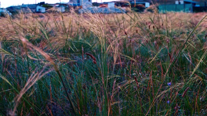 Stipa grass on wind in the evening time