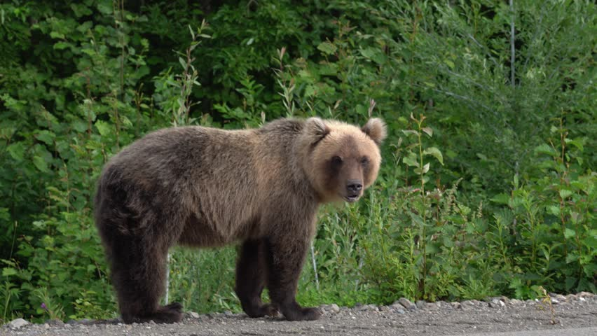 Hungry Kamchatka brown bear lies on roadside of asphalt road, heavily breathing, sniffing and looking around. Kamchatka Peninsula, Eurasia, Russian Far East.