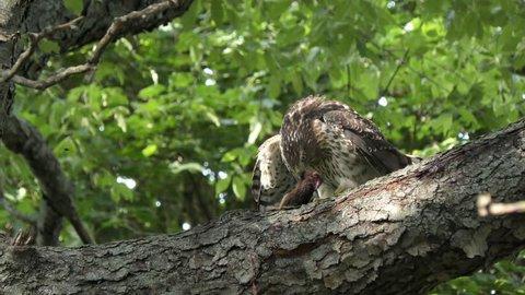 Cooper's hawk feeding on chipmunk on a branch
