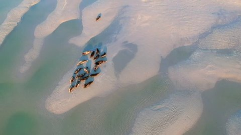 Drone footage of sandbanks with seals in Berck-Plage, France.