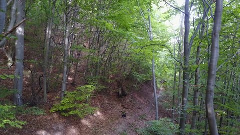 Drone shot aerial forest fly through in sunny early autumn beech forest above hidden trail / Drone shot aerial forest fly through in sunny early autumn beech forest above hidden trail