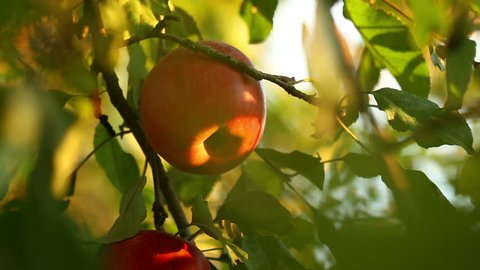 Apple tree with red apples close up in sunset. Red apple grow on a branch. Soft focus on apples with golden sunlight