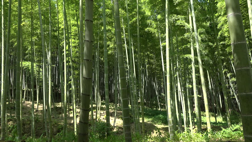 Bamboo Forest in Kioto | Shutterstock HD Video #1016519446