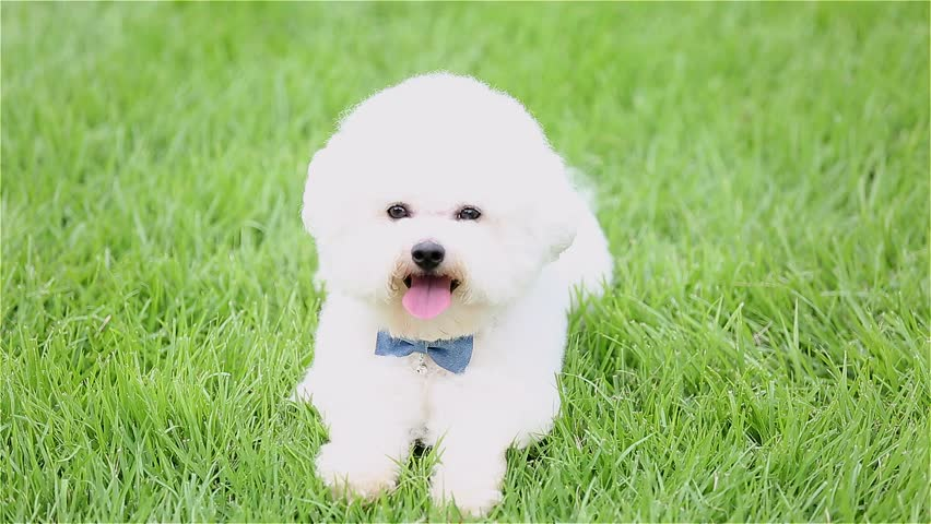 Bichon Frise Sitting On Grass