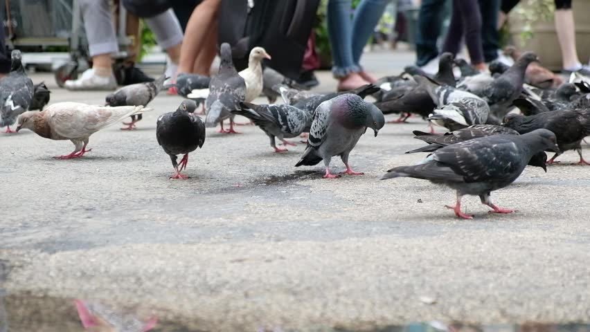 Flock of pigeons pecking and hunting for seeds on New York City sidewalk, puddle from the rain in foreground. Autofocus follows pigeons movements. | Shutterstock HD Video #1016677096