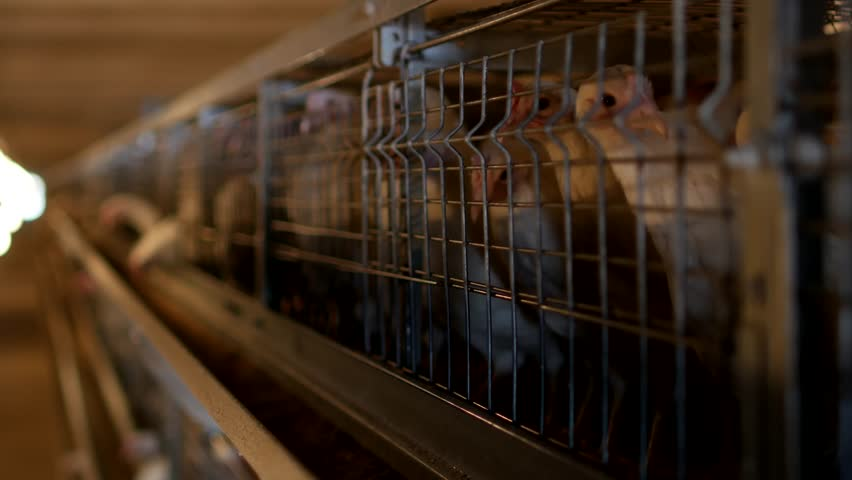 Breeding broiler chickens and chickens, broiler chickens sit behind bars in the hut, poultry house, broiler chickens