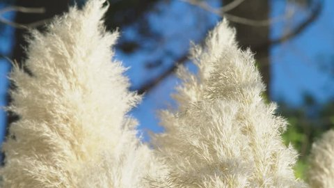 Pampas grass . Silver feather grass swings in the wind. plants slowly move in the wind . 4k, close-up, slow-motion