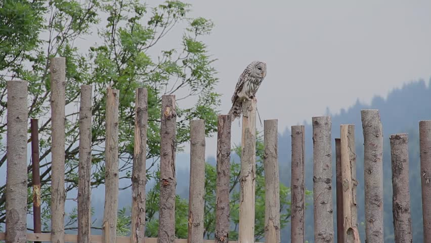 Owl Sitting on the Wooden Fence on a Windy Day