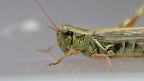 Locust side view close up. Caelifera  species of herbivore insects with big eyes, antenna, and large legs. Grasshopper close up.