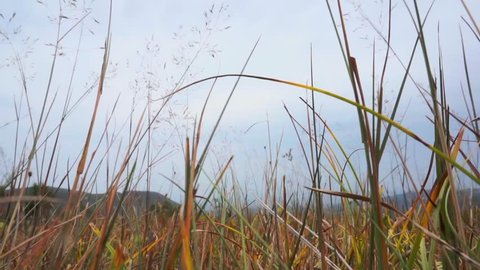 Swaying grass. Windy summer day in mountains. Still camera