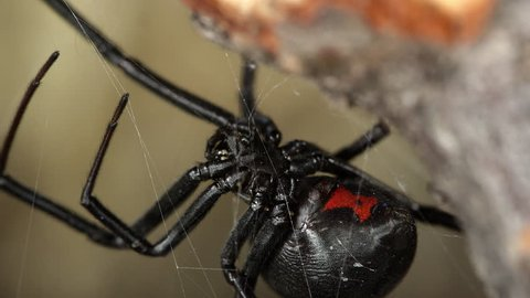 Macro view of Black Widow Spider showing red hourglass on abdomen in detail.