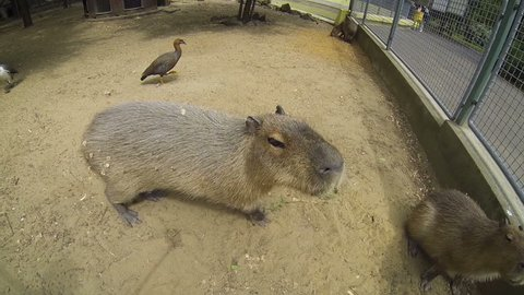 Big brown capybaras, biggest rodents, walking outdoors in a sunny summer day and sniffing the action camera
