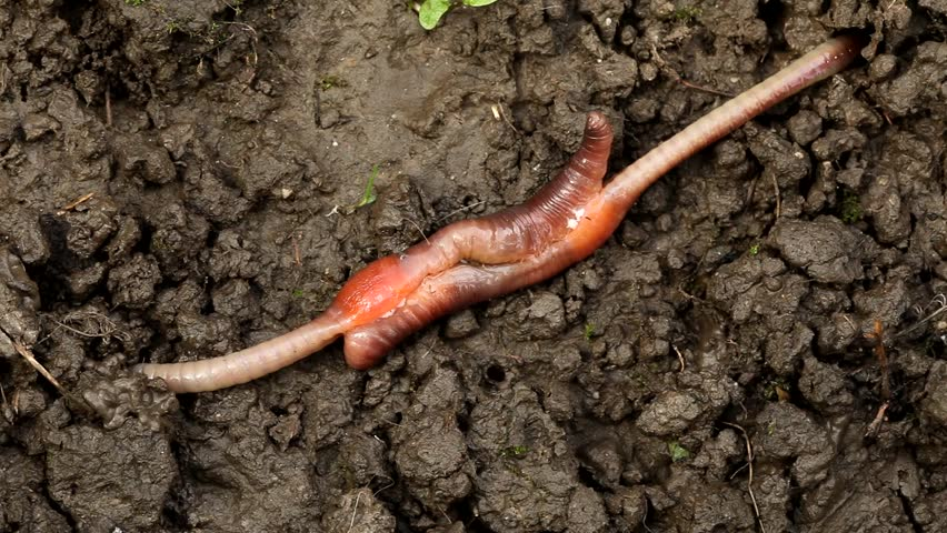 Earthworm mating. Earthworm reproduction. Lumbricus terrestris. The hermaphrodite invertebrates mate on the surface with part of their bodies still underground.  Carpathian Basin, Europe