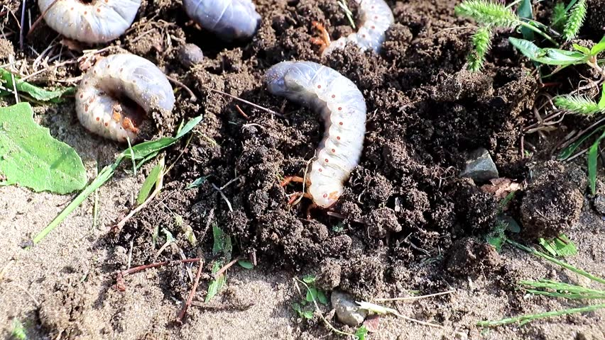 Large larvae of garden pest beetles on the surface of the lawn soil | Shutterstock HD Video #1017240496