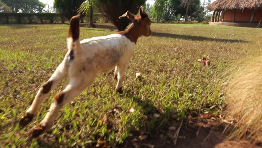 Goats run in slow motion through a village in rural Uganda.