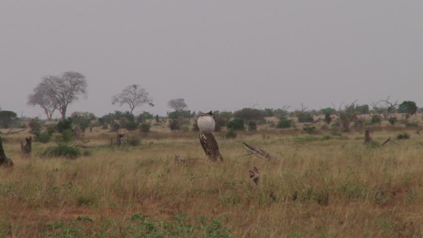 a kori bustard bird puffs up his neck in a nuptial display.