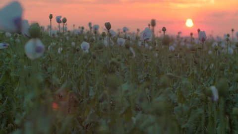 poppy field with unripe poppy heads during sunset evening, racking focus to reveal a foreground poppy head, medium shot, shallow depth of field