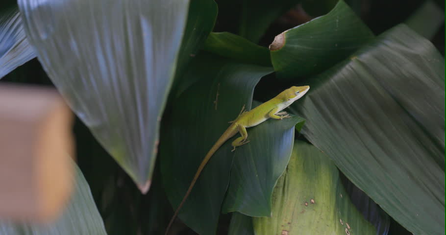 A green anole walking on some large leaves.