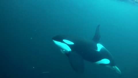 Large male orca feeding on herring, northern Norway.
