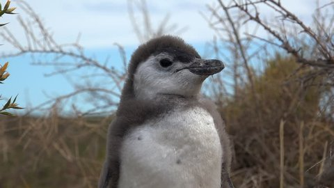 Closeup of the chick Magellanic Penguin (Spheniscus magellanicus) in the nesting colony  at Punta Tombo coastline. Chubut, Argentina