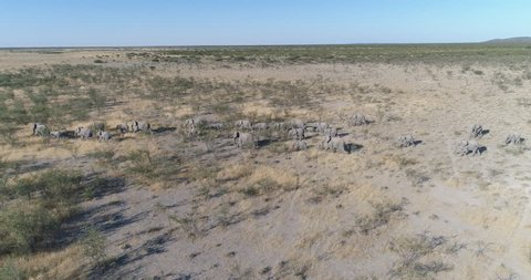 4k aerial panning side view of a breeding herd of elephants walking in the savannah bushveld of Northern Namibia