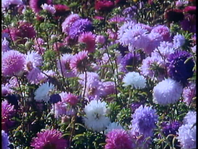 FAIRBANKS, ALASKA, 1989, Close up flowers, tilt up, University of Alaska | Shutterstock HD Video #1018027906