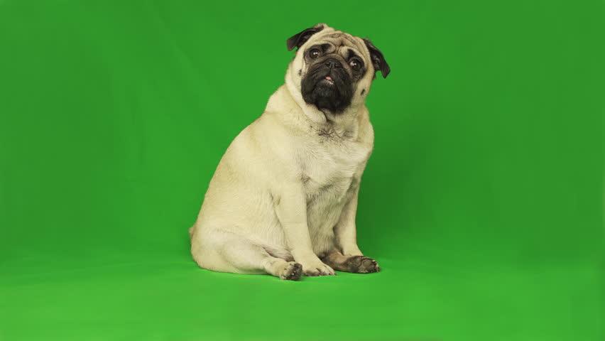 Cute pug dog. Green screen. Portrait. sitting. Tilting head