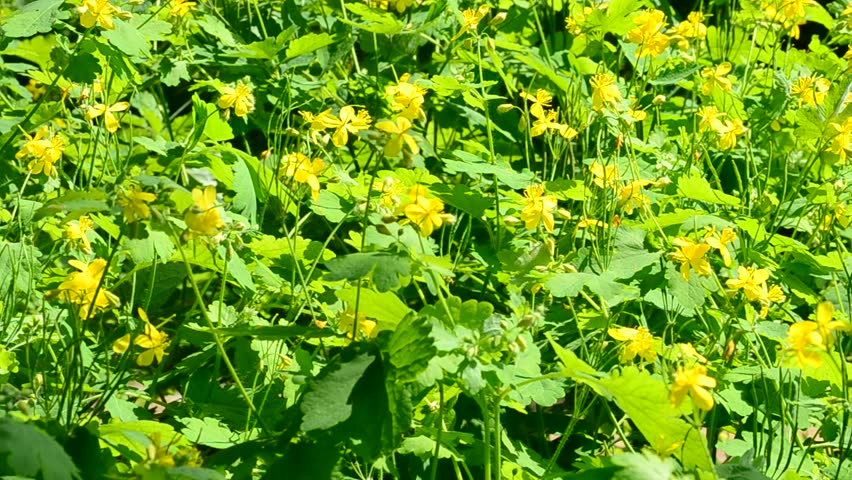 Chelidonium majus fluffy yellow flower stock footage video 100 blossoming greater celandine with yellow flowers blown by wind in spring fills the mightylinksfo
