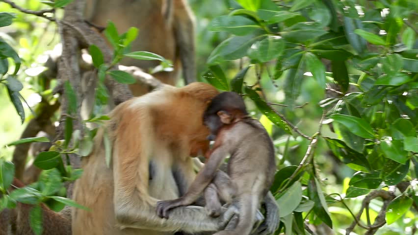 Mother and baby Proboscis Monkey in a tree in the forests of Borneo | Shutterstock HD Video #1018141666