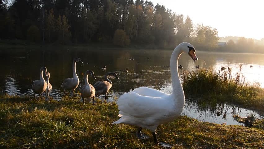 Beautiful Swan bird in the pond, animal wildlife | Shutterstock HD Video #1018163506