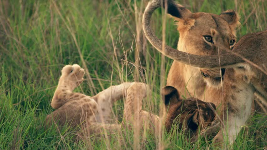Medium and wide-angle shot of lioness and cubs in Uganda, Africa | Shutterstock HD Video #1018164496