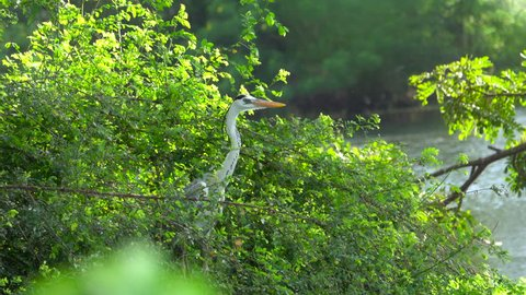 Grey heron (Ardea cinerea) flies off from wetland vegetation in Tissamaharama, Sri Lanka
