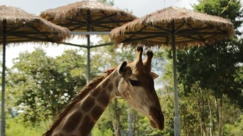 Male Giraffes up close at a feeding station on an animal sanctuary waiting to be fed in Central Thailand, Southeast Asia | Shutterstock HD Video #1018185046