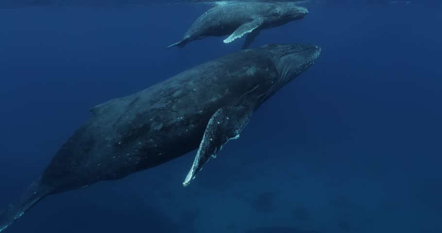 Mother and Calf  Humpback whale during migration in Indian Ocean